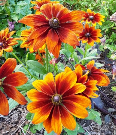 Solhatt 'Autumn Colors' (Rudbeckia hirta)
