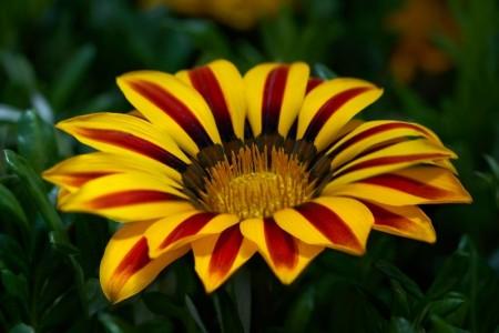 Blomsterfrø D-I