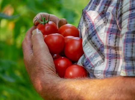 Tomatdyrking - gode tips!